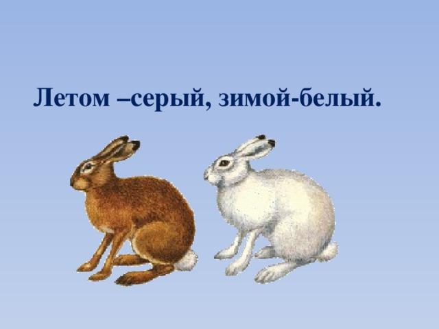 Летом –серый, зимой-белый.
