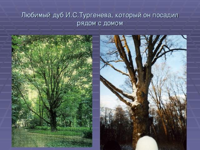 Любимый дуб И.С.Тургенева, который он посадил рядом с домом