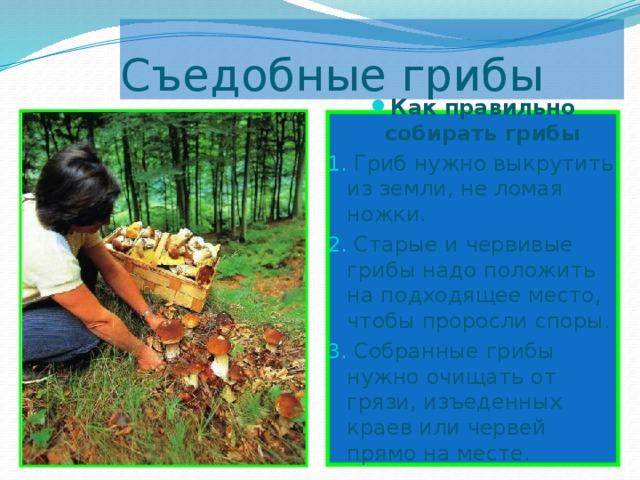 Съедобные грибы Как правильно собирать грибы  Гриб нужно выкрутить из земли, не ломая ножки.  Старые и червивые грибы надо положить на подходящее место, чтобы проросли споры.  Собранные грибы нужно очищать от грязи, изъеденных краев или червей прямо на месте.