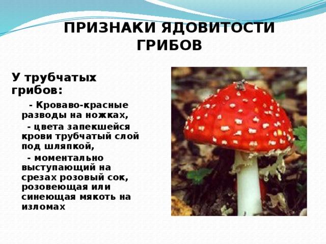 ПРИЗНАКИ ЯДОВИТОСТИ ГРИБОВ У трубчатых грибов:  - Кроваво-красные разводы на ножках,  - цвета запекшейся крови трубчатый слой под шляпкой,  - моментально выступающий на срезах розовый сок, розовеющая или синеющая мякоть на изломах