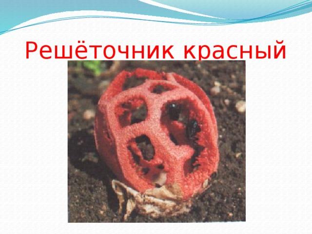 Решёточник красный