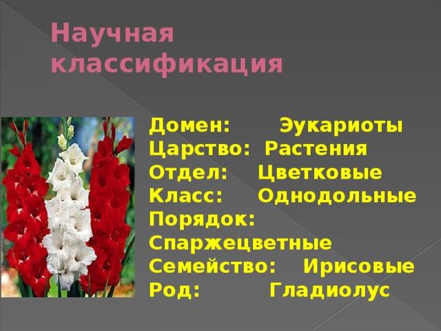 Научная классификация Домен:  Эукариоты Царство: Растения Отдел:  Цветковые Класс:  Однодольные Порядок: Спаржецветные Семейство:  Ирисовые Род:  Гладиолус