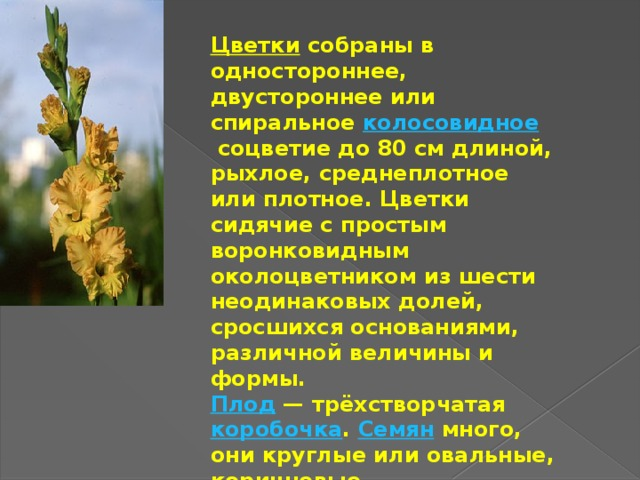 Цветки  собраны в одностороннее, двустороннее или спиральное колосовидное соцветие до 80см длиной, рыхлое, среднеплотное или плотное. Цветки сидячие с простым воронковидным околоцветником из шести неодинаковых долей, сросшихся основаниями, различной величины и формы. Плод — трёхстворчатая коробочка . Семян много, они круглые или овальные, коричневые.