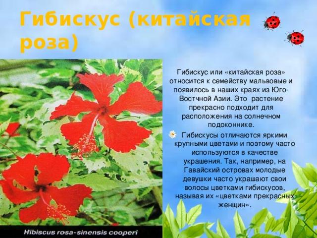 Гибискус (китайская роза) Гибискус или «китайская роза» относится к семейству мальвовые и появилось в наших краях из Юго-Востчной Азии. Это растение прекрасно подходит для расположения на солнечном подоконнике.