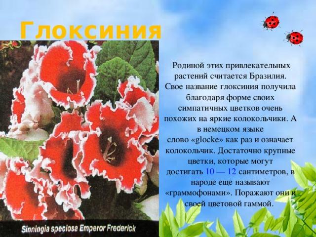 Глоксиния  Родиной этих привлекательных растений считается Бразилия. Свое название глоксиния получила благодаря форме своих симпатичных цветков очень похожих на яркие колокольчики. А в немецком языке слово«glocke»как раз и означает колокольчик. Достаточно крупные цветки, которые могут достигать 10 — 12 сантиметров, в народе еще называют «граммофонами». Поражают они и своей цветовой гаммой.