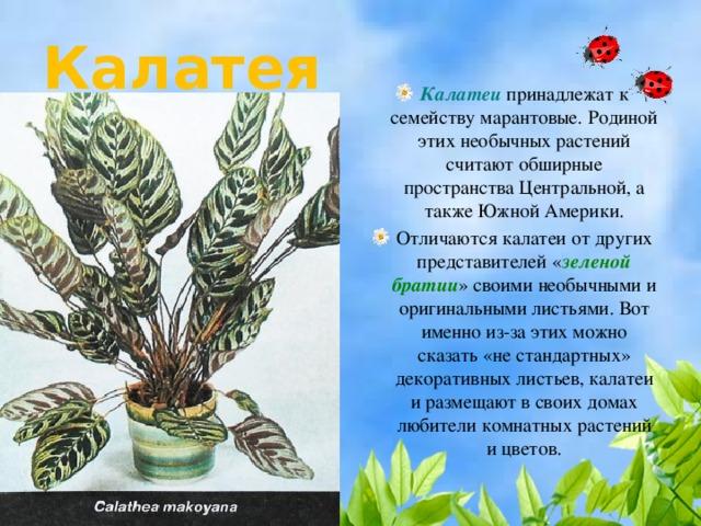 Калатея