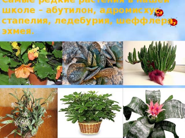 Самые редкие растения в нашей школе – абутилон, адромисхус, стапелия, ледебурия, шеффлера, эхмея.