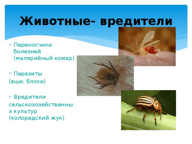 Животные- вредители Переносчики болезней (малярийный комар) Паразиты (вши, блохи) Вредители сельскохозяйственных культур (колорадский жук)