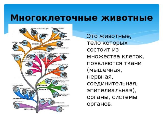 Многоклеточные животные Это животные, тело которых состоит из множества клеток, появляются ткани (мышечная, нервная, соединительная, эпителиальная), органы, системы органов. Каждая ткань рассматривается через функцию – мышечная – движение, нервная – связь организма и окружающей среды, соединительная – транспортная, защитная, энергетическая, терморегуляторная, эпителиальная – защитная…