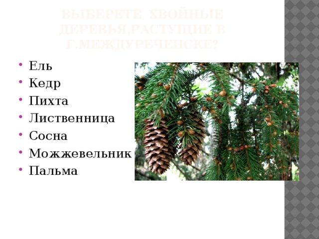 Выберете хвойные деревья,растущие в г.междуреченске?