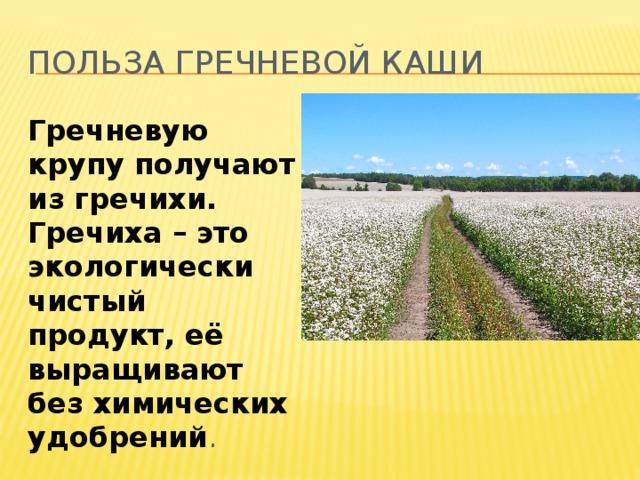 Польза гречневой каши Гречневую крупу получают из гречихи. Гречиха – это экологически чистый продукт, её выращивают без химических удобрений .