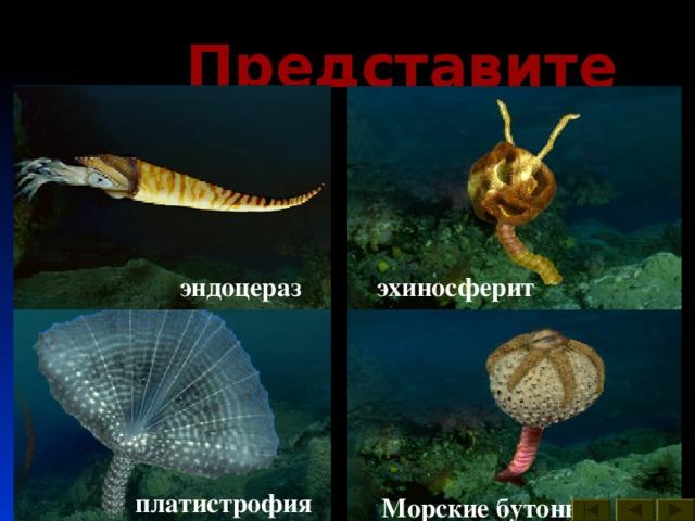 Представители : археокринус астраспис платилихас эхиносферит эндоцераз гониоцераз гомилозои Брюхоногие моллюски платистрофия Морские бутоны