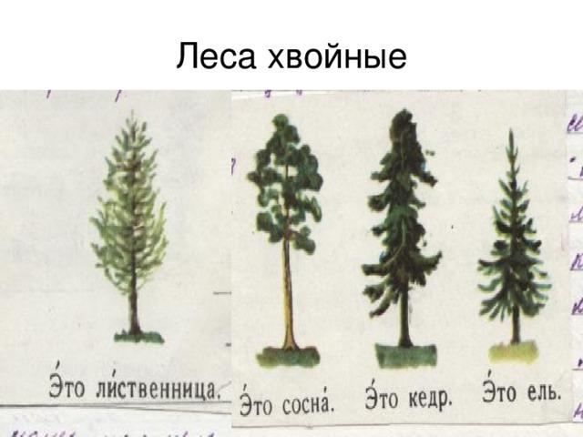 Леса хвойные