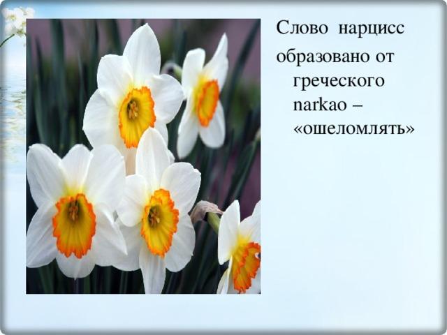 Слово нарцисс образовано от греческого narkao – «ошеломлять»