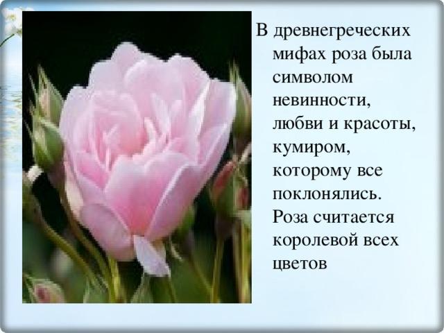 В древнегреческих мифах роза была символом невинности, любви и красоты, кумиром, которому все поклонялись. Роза считается королевой всех цветов