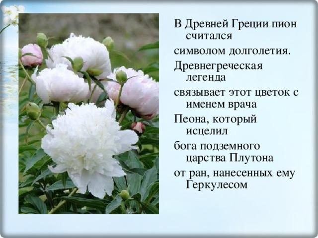 В Древней Греции пион считался символом долголетия. Древнегреческая легенда связывает этот цветок с именем врача Пеона, который исцелил бога подземного царства Плутона от ран, нанесенных ему Геркулесом