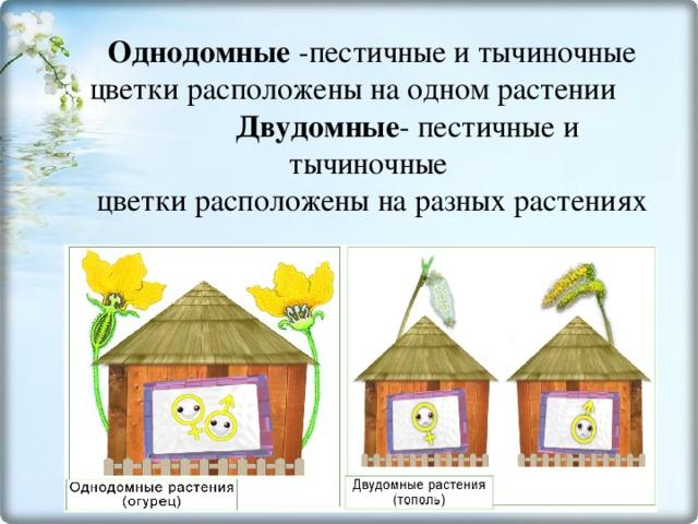Однодомные -пестичные и тычиночные цветки расположены на одном растении Двудомные - пестичные и тычиночные  цветки расположены на разных растениях