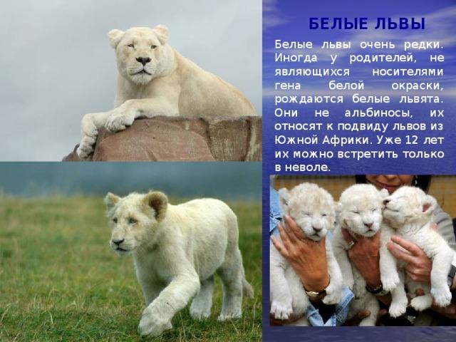 БЕЛЫЕ ЛЬВЫ Белые львы очень редки. Иногда у родителей, не являющихся носителями гена белой окраски, рождаются белые львята. Они не альбиносы, их относят к подвиду львов из Южной Африки. Уже 12 лет их можно встретить только в неволе.