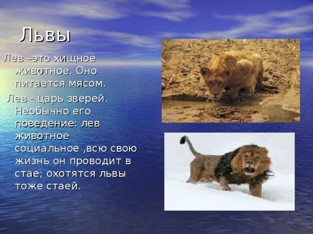 Львы Лев –это хищное животное. Оно питается мясом.  Лев - царь зверей. Необычно его поведение: лев животное социальное ,всю свою жизнь он проводит в стае; охотятся львы тоже стаей.