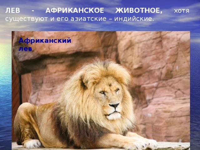 ЛЕВ - АФРИКАНСКОЕ ЖИВОТНОЕ, хотя существуют и его азиатские – индийские. Африканский лев