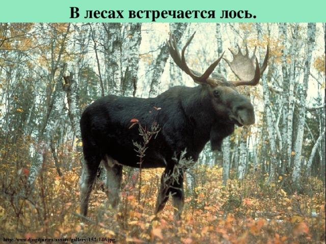Влесах встречается лось.