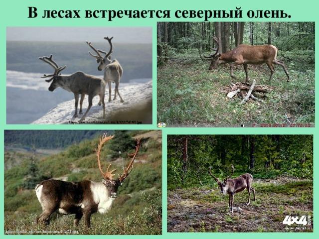 Влесах встречается северный олень.