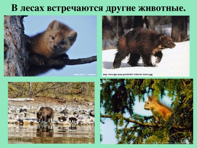 Влесах встречаются другие животные.