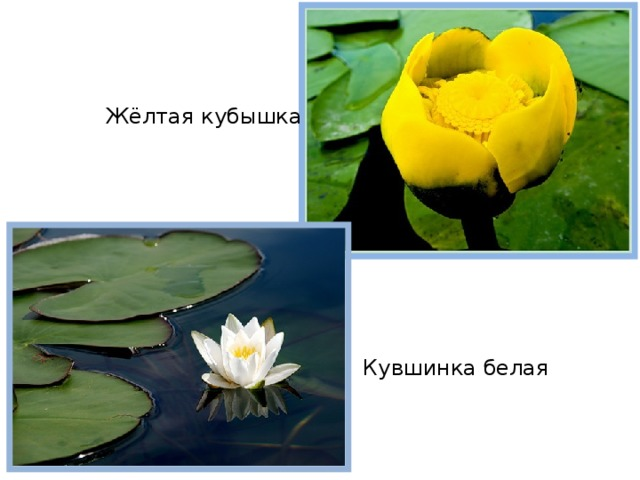 Жёлтая кубышка Кувшинка белая