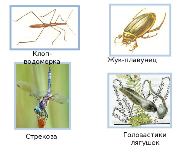 Клоп-водомерка Жук-плавунец Головастики лягушек Стрекоза