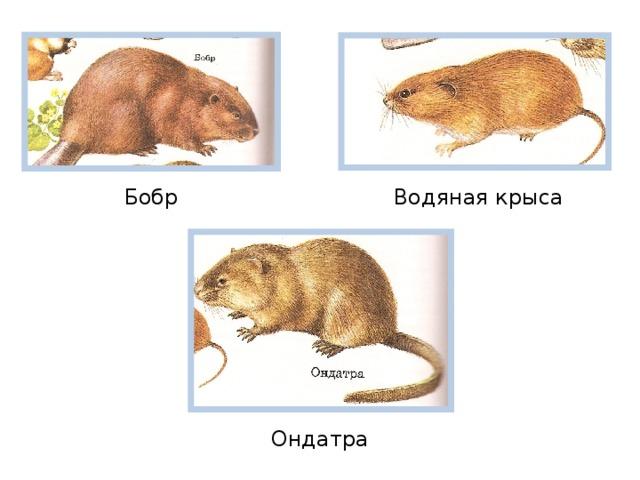 Бобр  Водяная крыса Ондатра