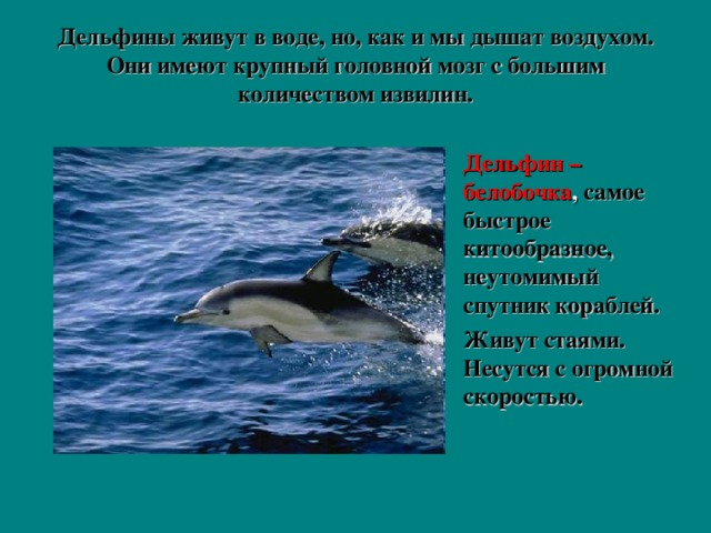 Дельфины живут в воде, но, как и мы дышат воздухом. Они имеют крупный головной мозг с большим количеством извилин.   Дельфин –белобочка , самое быстрое китообразное, неутомимый спутник кораблей. Живут стаями. Несутся с огромной скоростью.