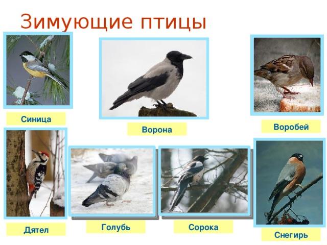 Зимующие птицы Синица Воробей Ворона Голубь Сорока Дятел Снегирь
