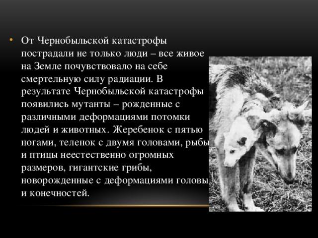 От Чернобыльской катастрофы пострадали не только люди – все живое на Земле почувствовало на себе смертельную силу радиации. В результате Чернобыльской катастрофы появились мутанты – рожденные с различными деформациями потомки людей и животных. Жеребенок с пятью ногами, теленок с двумя головами, рыбы и птицы неестественно огромных размеров, гигантские грибы, новорожденные с деформациями головы и конечностей.