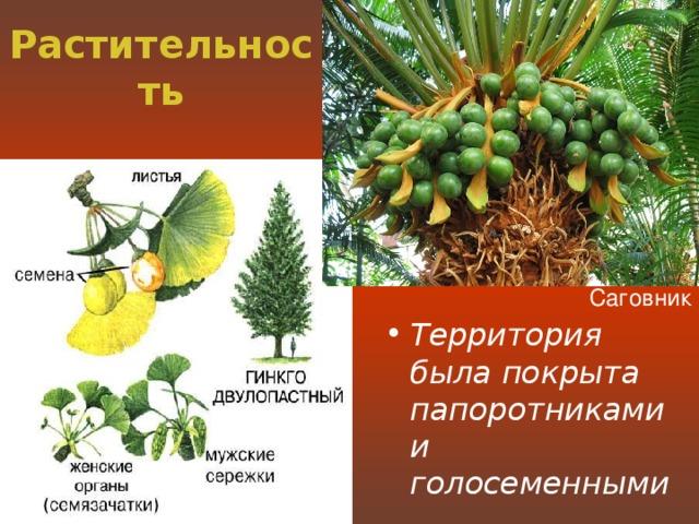 Растительность Саговник