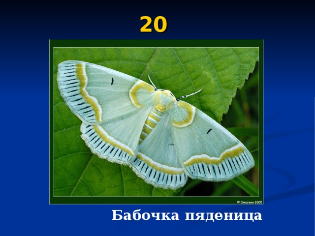 20  Бабочка пяденица