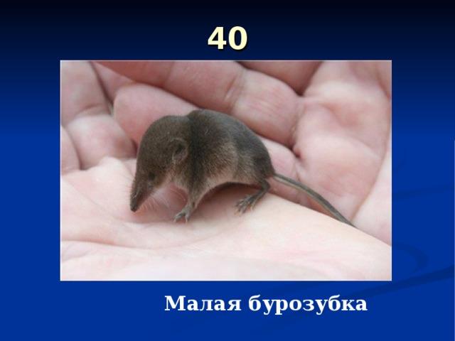 40 Малая бурозубка