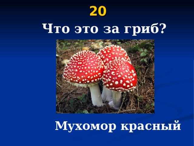 20    Что это за гриб?  Мухомор красный