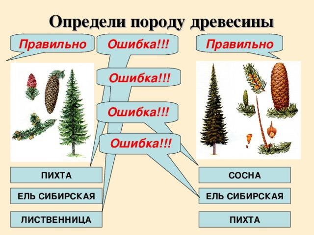 Ошибка!!! Определи породу древесины Ошибка!!! Правильно Правильно Ошибка!!! Ошибка!!! ПИХТА СОСНА ЕЛЬ СИБИРСКАЯ ЕЛЬ СИБИРСКАЯ ЛИСТВЕННИЦА ПИХТА