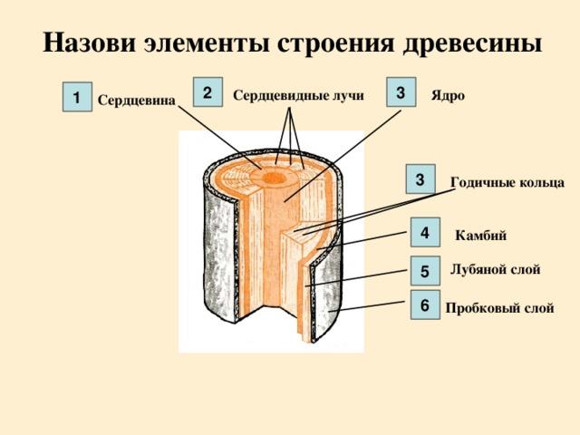 Назови элементы строения древесины 3 2 Ядро Сердцевидные лучи 1 Сердцевина 3 Годичные кольца 4 Камбий Лубяной слой 5 6 Пробковый слой