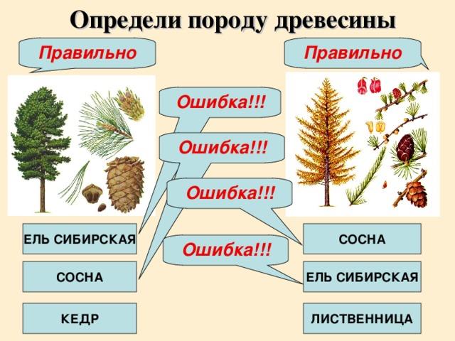 Определи породу древесины Правильно Правильно Ошибка!!! Ошибка!!! Ошибка!!! ЕЛЬ СИБИРСКАЯ СОСНА Ошибка!!! СОСНА ЕЛЬ СИБИРСКАЯ КЕДР ЛИСТВЕННИЦА