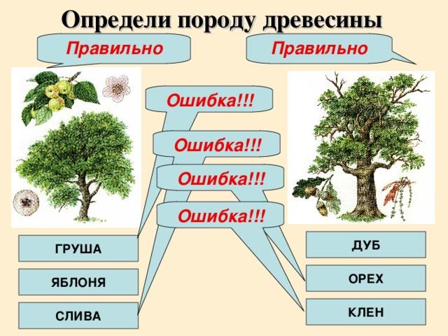 Определи породу древесины Правильно Правильно Ошибка!!! Ошибка!!! Ошибка!!! Ошибка!!! ДУБ ГРУША ОРЕХ ЯБЛОНЯ КЛЕН СЛИВА