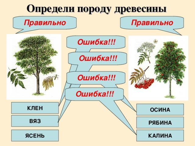 Определи породу древесины Правильно Правильно Ошибка!!! Ошибка!!! Ошибка!!! Ошибка!!! КЛЕН ОСИНА ВЯЗ РЯБИНА ЯСЕНЬ КАЛИНА