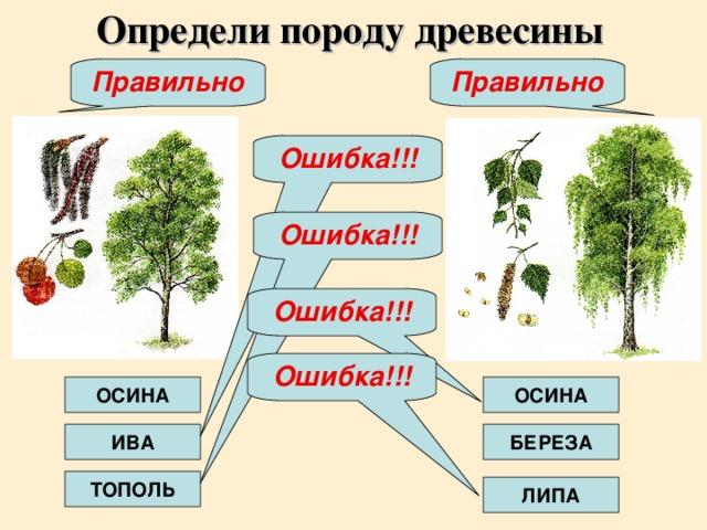 Определи породу древесины Правильно Правильно Ошибка!!! Ошибка!!! Ошибка!!! Ошибка!!! ОСИНА ОСИНА ИВА БЕРЕЗА ТОПОЛЬ ЛИПА
