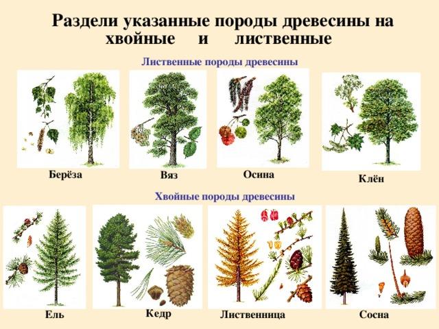 Раздели указанные породы древесины на хвойные лиственные и Лиственные породы древесины Берёза Осина Вяз Клён Хвойные породы древесины Кедр Ель Сосна Лиственница