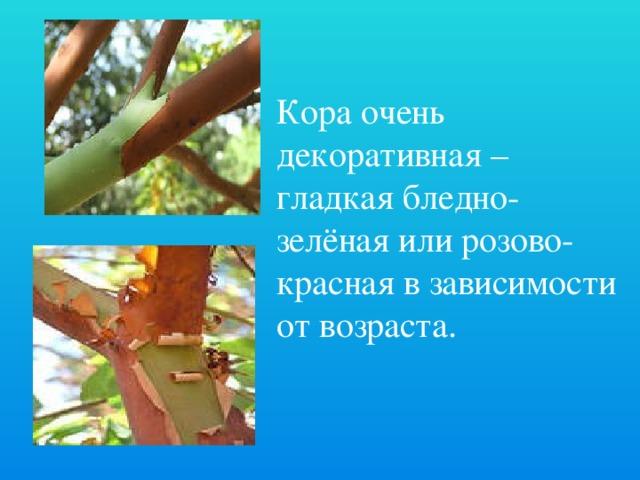 Кора очень декоративная – гладкая бледно-зелёная или розово-красная в зависимости от возраста.