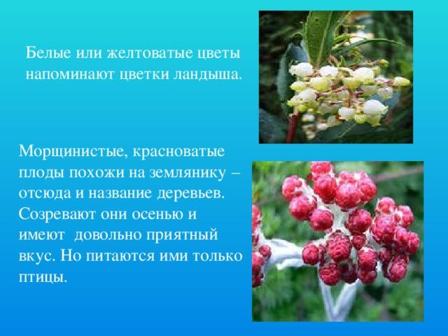 Белые или желтоватые цветы напоминают цветки ландыша. Морщинистые, красноватые плоды похожи на землянику – отсюда и название деревьев. Созревают они осенью и имеют довольно приятный вкус. Но питаются ими только птицы.