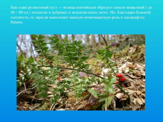 Еще один реликтовый куст — иглица понтийская образует совсем невысокий ( до 40 – 80 см ) подлесок в дубравах и можжевеловых лесах. Но, благодаря большой плотности, ее заросли выполняют важную почвозащитную роль в ландшафтах Крыма.
