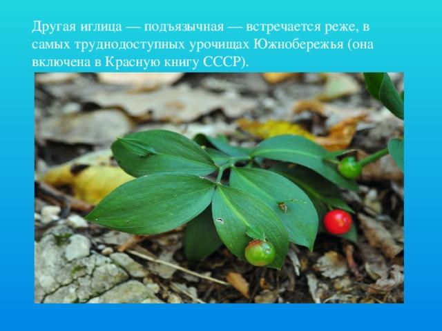 Другая иглица — подъязычная — встречается реже, в самых труднодоступных урочищах Южнобережья (она включена в Красную книгу СССР).