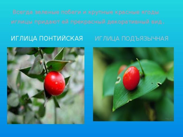 Всегда зеленые побеги и крупные красные ягоды иглицы придают ей прекрасный декоративный вид . Иглица понтийская Иглица подъязычная