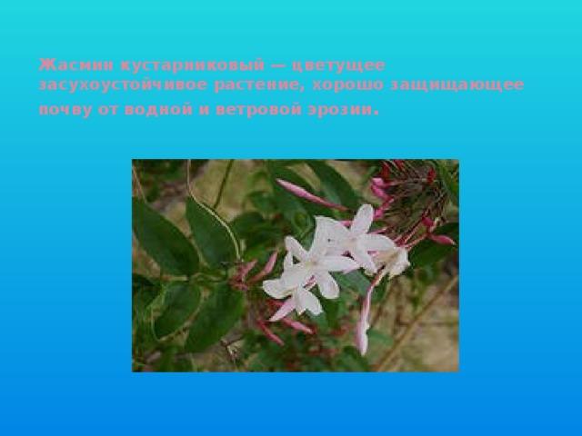 Жасмин кустарниковый — цветущее засухоустойчивое растение, хорошо защищающее почву от водной и ветровой эрозии .